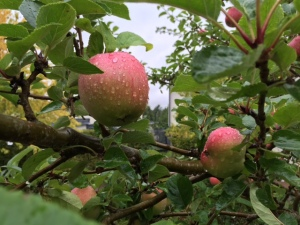 Äpplen - höst